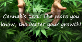 Marijuana 101 What You Need To Know