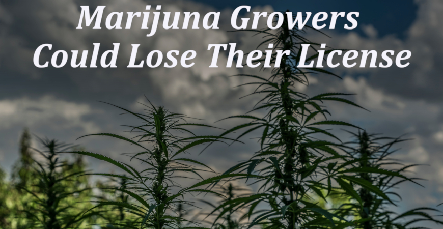 California Marijuana Growers Could Lose Their License